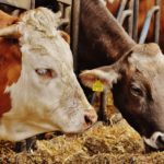 Verbraucher, Massentierhaltung, ökologische Landwirtschaft, Kühe, Bauern, Gehöft, Hof, Hofladen, Landwirtschaft